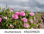 Stock photo kazanlak pink rose bush closeup on field background local focus shallow dof 456339820