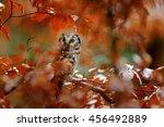 Boreal Owl  Aegolius Funereus ...