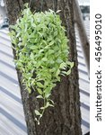 Small photo of Green Dischidia Nummularia Variegate hanging on big tree trunk