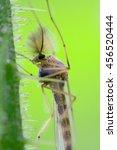 Small photo of side of wild fly chironomidae chironomus riparius