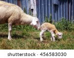 Mom Sheep With Small Newly Bor...