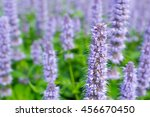 Small photo of Agastache Blue Fortune or Giant Hysso flowers.