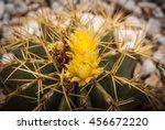 Small photo of Image of actus flowers at Novoelda, Valencia y Murcia, Spain