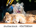 Two Young Lions Laying Down...