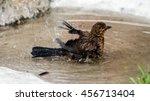 A Juvenile Common Blackbird ...
