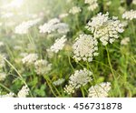 Small photo of White lace flower background - Ammi majus (Niseko, Hokkaido, Japan)