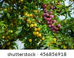 Harvest Of Plums. Branches Of...