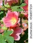 Small photo of Colorful Malva Alcea rosea hollyhock garden flowers background