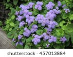 Small photo of violet ageratum