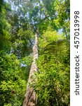 Small photo of Tall and big tree of Dipterocarpus in beautiful Khao Sok National Park, Surat Thani Province, Thailand. It is an important component of dipterocarp forests.
