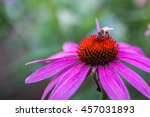 Bee On Coneflower In The Garden