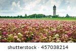 Sweet William Or Dianthus...