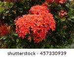 ixora flowers in the garden... | Shutterstock . vector #457330939