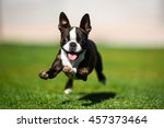 Stock photo boston terrier puppy running through the yard 457373464