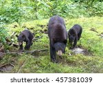 Black Bear With Her Cubs...