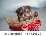 Stock photo chihuahua puppy brown 457434829