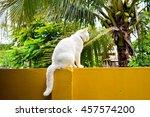 Thai White Cat On Yellow Wall