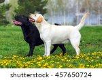 Two Purebred Dogs Labrador...