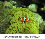 Small photo of Anemone and anemone fish. Clownfish in the nest on a tropical coral reef. Amphiprion percula, swimming among the Actiniaria tentacles of its home. Koh Lipe Thailand