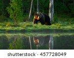big brown bear walking around... | Shutterstock . vector #457728049