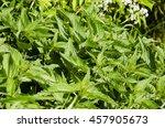 nettle | Shutterstock . vector #457905673