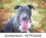 Gray And White Pit Bull.