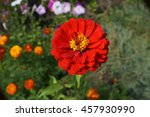 Elegant Zinnia Red With Yellow...