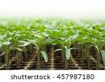 Seedling Of Tomato In Seedling...