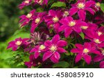 Purple Clematis Bloom In The...