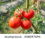 Red Ripe Tomato On Agricultura...