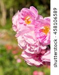 pink roses close up  selective... | Shutterstock . vector #458106589