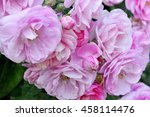 pink rose close up  selective... | Shutterstock . vector #458114476