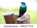 Green Blue Bird Burchell S...