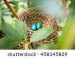 Robin Eggs In Nest Rhododendron