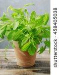 salvia officinalis in ceramic...   Shutterstock . vector #458405038