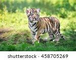 Adorable Siberian Tiger Cub...