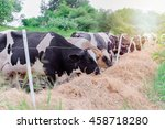 Time Feed Food For Herd Cow...