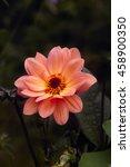 Orange Coral Peach Flower Of...
