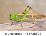 Grasshopper  Standing On Wooden