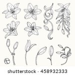 Lily Flower Vector By Hand...