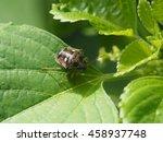 Colse Up Of Tiny Black Bug Wit...