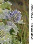 Small photo of Sea Holly - Eryngium maritimum Prickly Flower of Sea Shore