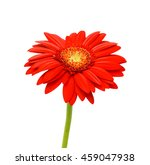 Beautiful Red Gerbera Flower...