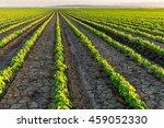 soybean field ripening at... | Shutterstock . vector #459052330