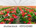 Rows Of Blooming Anthurium...