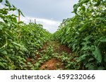 Tomato Field Agriculture...
