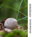 Small photo of Edible Blusher fungi (Amanita rubescens). Made with the macro lens