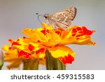 sachem skipper butterfly on... | Shutterstock . vector #459315583