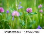 Flowering Clover  Trifolium...