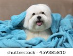Maltese Dog Wrapped On A Blue...